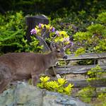 Bowen; Deer